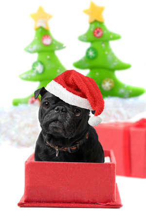 Black  christmas pug inside a present box wearing a red hat with decorated trees on a white background photo