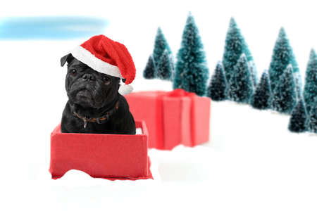 Black  christmas pug inside a present box on snow wearing a red Santa hat with winter trees on a white background photo