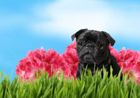 Black pug with green grass, pink flowers and blue sky background, a perfect spring day