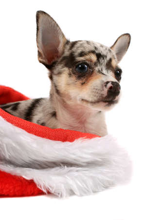 spotted: Cute little black spotted chihuahua inside a christmas stocking Stock Photo