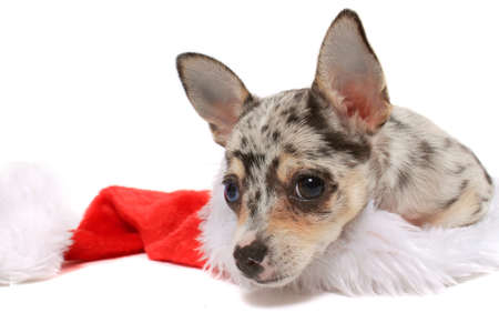 Cute little unique black spotted chihuahua with one blue eye and one brown laying inside a christmas santa hat photo
