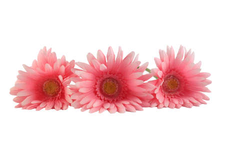 Three pretty pink gerber daisies on a white background (shallow depth of field) Imagens