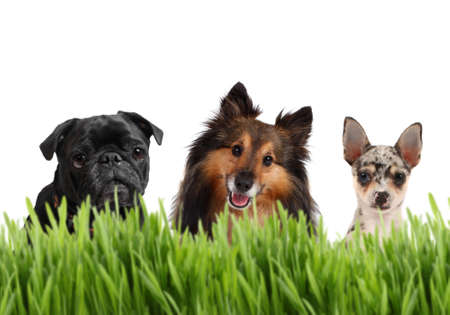 three animals: A group of small dogs on a white background behind grass, with a Chihuahua, Sheltie, and a Pug,  Stock Photo