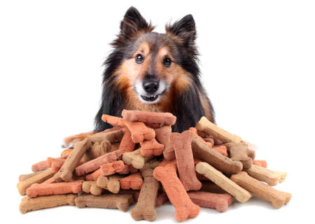 pet food: Small Sheltie or Shetland sheepdog with dog treats in front of him with cheeky smile (Not Isolated)
