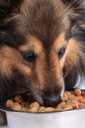 Shetland Sheepdod better known as a Sheltie eating dog food bits from a silver bowl Stock Photo