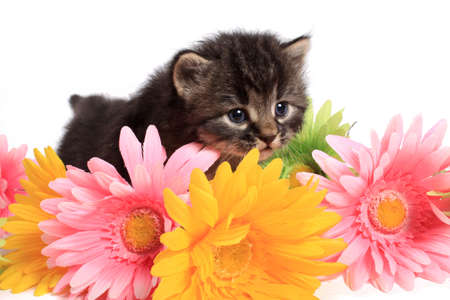Little four week old black and beige striped kitten with colorful daisies on a white background