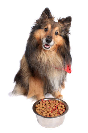 Shetland Sheepdod better known as a Sheltie  dog sitting in front of  a silver bowl full of  food bits on a white background Stock Photo
