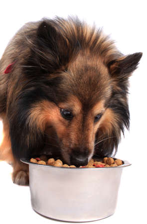 Shetland Sheepdod better known as a Sheltie  dog eating out of a silver bowl full of  food bits on a white background