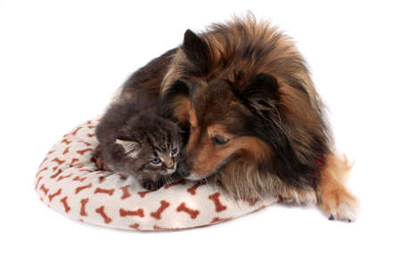 Cute kitten laying on a soft bed with a Sheltie dog on a white  background