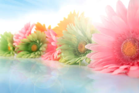Colorful gerbera daisies on a white background with reflection ( shallow depth of field ) and bright sunny light burst and sun glare