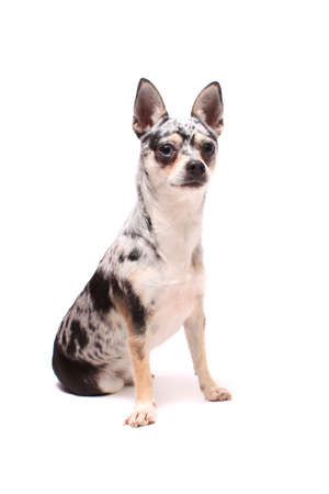 spotted: Cute little spotted chihuahua sitting dog portrait on a white background