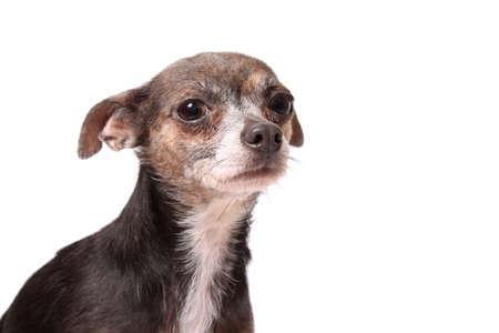 perro asustado: Lindo perrito chihuahua con aspecto asustado sobre un fondo blanco