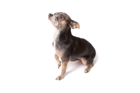 Cute little chihuahua dog looking frightened while begging with his paw up in the air on a white background