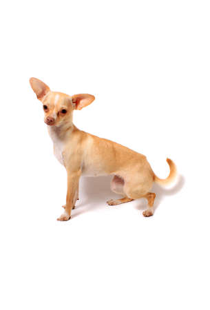 Cute little chihuahua dog sitting portrait on a white background Stock Photo - 11488410