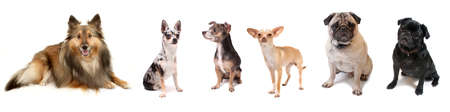 Banner like image of small dog breeds like Sheltie, Chihuahua and Pugs on a white background