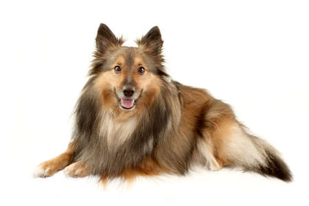 Beautiful furry purebred Shetland Sheepdog or Sheltie smiling for the camera on a white background