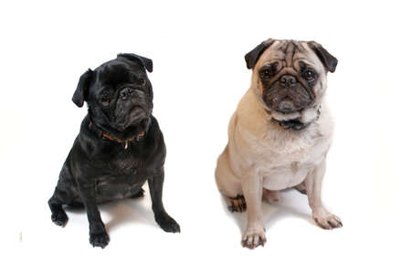 Two cute pugs sitting on a white background Stock Photo - 11755496