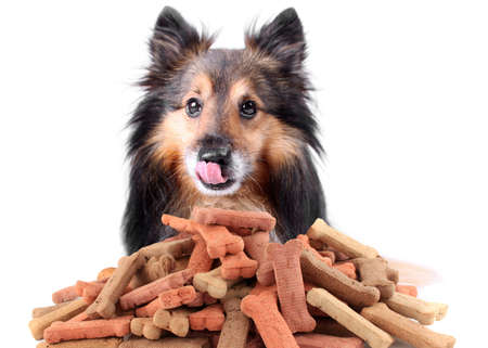 animal feed: Beautiful Sheltie licking his nose with dog bone shaped treats or biscuits