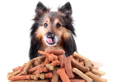 galletas: Hermosa Sheltie lamiendo la nariz con golosinas con forma de hueso de perro o galletas Foto de archivo