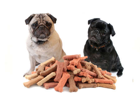 Two cute pugs sitting behind bone shaped dog treats or biscuits on a white background Archivio Fotografico