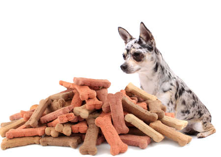 Little chihuahua dog stares at and sits behind large mound of dog treats on a white background photo