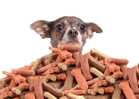 Chihuahua peeking over large mound of  dog bone shaped treats or biscuits on a white background Archivio Fotografico