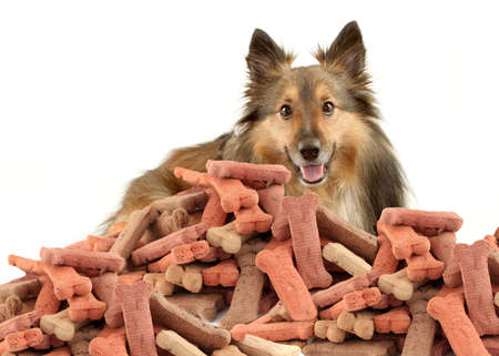 Sheltie or Shetland Sheepdog peeking over large mound of  dog bone shaped treats or biscuits on a white background photo