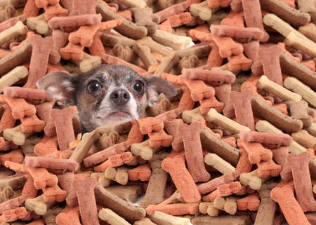 heap: Little chihuahua buried in a large pile of dog bone treats
