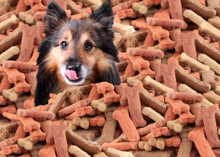 Sheltie peeking over large mound of  dog bone shaped treats or biscuits while licking his nose photo