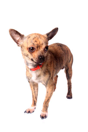 brindle: Cute little brindle chihuahua on a white background