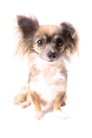 long haired chihuahua: Cute little long haired chihuahua with one ear up and one down on a white background