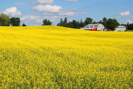 canada agriculture: Rolling hills with bright yellow rapeseed plants and red barn in the background with blue sunny sky