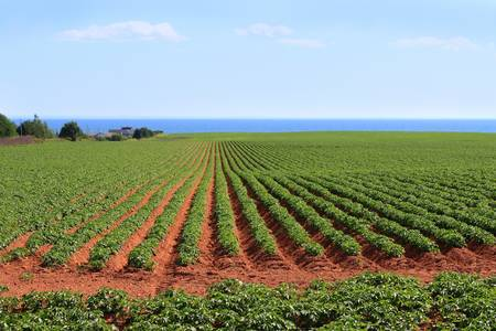 edward: Potato field in the red sands of Prince Edward Island, Canada, with the Northumberland Strait in the background