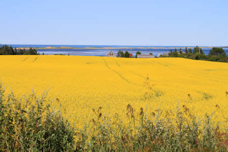 Summer landscape with rapeseed fields and ocean in central Prince Edward Island, Canada photo