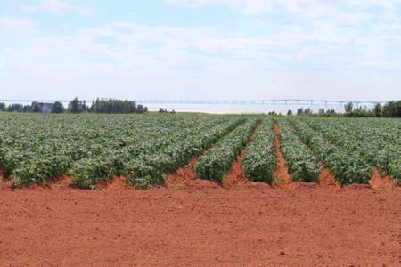 potato field: Prince Edward Island potato field in red sand with Confederation Bridge in the background