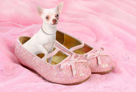 pampered: Little white chihuahua sitting in sparkly pink princess shoes wearing a diamond necklace and smiling Stock Photo