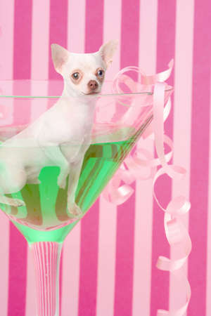 martini glass: Little white chihuahua dog, smiling inside a green martini glass with festive decorations and  pink striped background