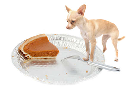 Little chihuahua dog standing on pie tin staring at the last pumpkin pice at thanksgiving on a white background