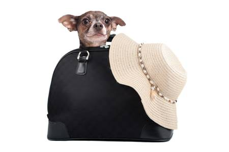 A small chihuahua dog inside  suitcase with straw beach hat  ready for a summer weekend getaway photo