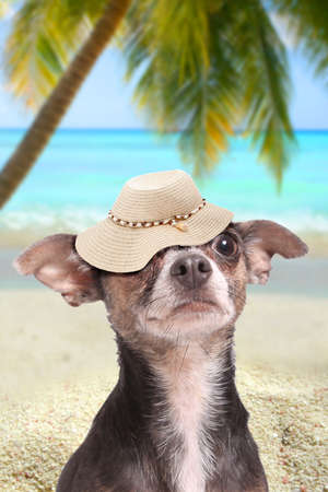 A cute chihuahua dog wearing a sun hat while on vacation on a tropical beach