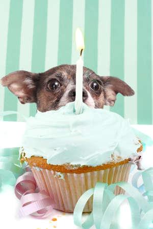 Kleine chihuahua zich te verschuilen achter verjaardag cupcake met het berijpen en een kaars wordt omgeven door decoraties