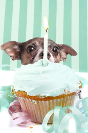 Little chihuahua hiding behind birthday cupcake with frosting and a candle surrounded by decorations
