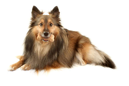 Beautiful furry purebred Shetland Sheepdog also known as a Sheltie on a white background with dog bone treat in his mouth