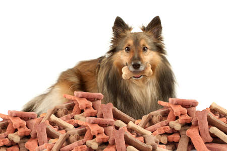 Beautiful furry purebred Shetland Sheepdog also known as a Sheltie on a white background with dog bone treat in his mouth  and a big pile in front