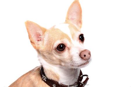Cute little beige chihuahua dog  on a white background