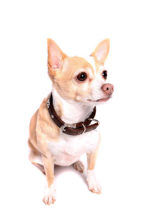Cute little beige chihuahua dog  sitting and isolated on a white background