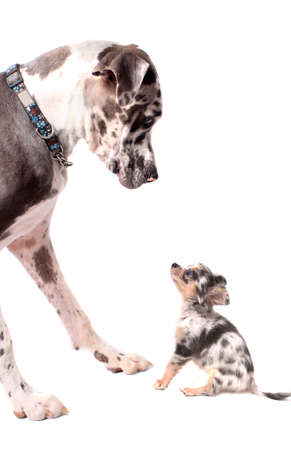 Great Dane and little chihuahua dog looking at eachother on a white background, both with merle coat Archivio Fotografico
