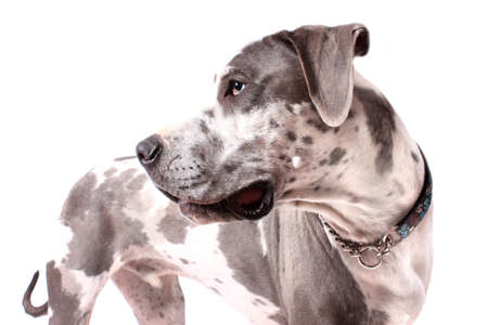 dane: Great Dane profile with merle coat on a white background