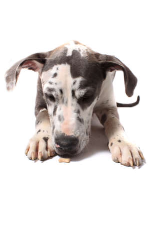 Great Dane with merle coat snifffing a tiny dogbone on a white background photo