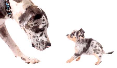 eachother: Great Dane and a little chihuahua dog looking at eachother  on a white background, both with merle coat Stock Photo